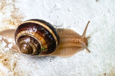 top view of snail (helix lucorum) crawling on wet dirty steel board close-up