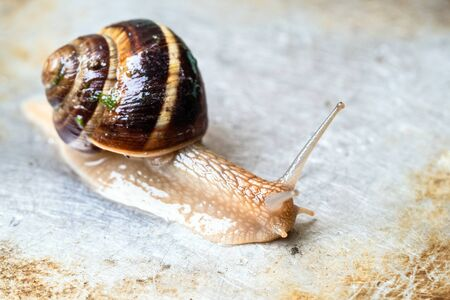 snail (helix lucorum) crawls on wet dirty steel surface close-up