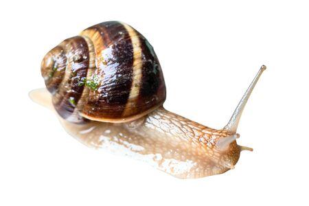 wet live snail (helix lucorum) cutout on white background Imagens