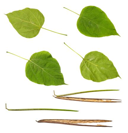 collection of leaves and bean pods of catalpa (catalpa bignonioides, southern catalpa, cigartree) tree cut out on white background Imagens