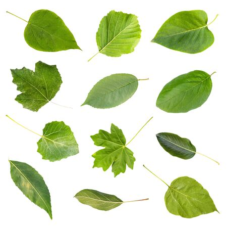 set of various fresh green leaves of trees from the Kuban cut out on white background (catalpa, alder, syringa, abele, cherry, quince, maple, pear, ash, apple, etc)
