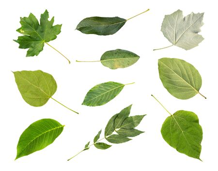 collection of various fresh green leaves of trees from the Kuban cut out on white background (catalpa, maple, apple, white poplar, pear, quince, walnut, ash, etc)