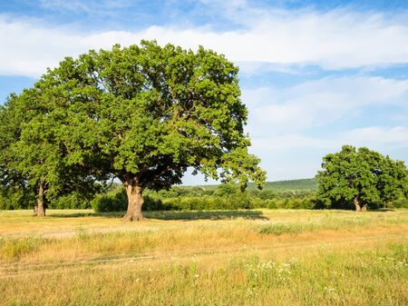 natural background - oak grove near dirty road at summer sunset in the Caucasus (in Kuban region of Krasnodar Krai of Russia) Imagens