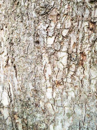 vertical natural background - bark of mature elm tree (ulmus laevis, russian elm) close-up