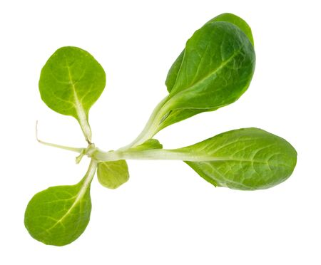 green twig of corn salad (mache) cutout on white background