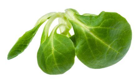 twig of fresh corn salad (mache) cutout on white background