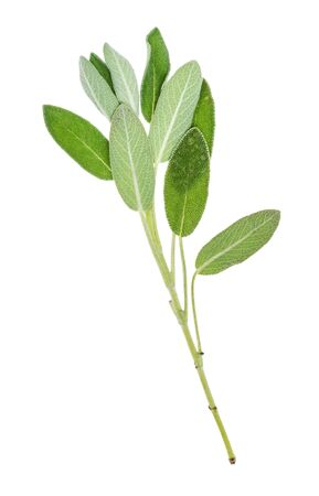 natural twig of sage (salvia officinalis) herb cutout on white background Stock Photo