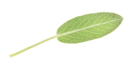 green leaf of sage (salvia officinalis) herb cutout on white background Banco de Imagens