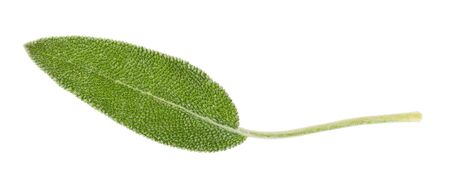 fresh leaf of sage (salvia officinalis) herb cutout on white background Stock Photo