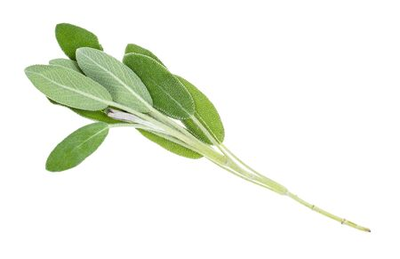 single twig of sage (salvia officinalis) herb cutout on white background Banco de Imagens