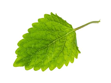 fresh leaf of lemon balm (melissa officinalis) plant cutout on white background Banco de Imagens