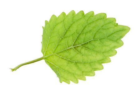 green leaf of lemon balm (melissa officinalis) plant cutout on white background Stock Photo