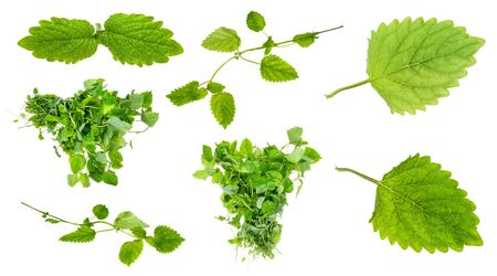 bundles, twigs and leaves of fresh lemon balm plant cut out on white background Stock Photo