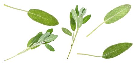 twigs and leaves of fresh sage plant cut out on white background Banco de Imagens