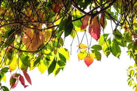 frame of natural twigs of Parthenocissus plant with autumn leaves cut out on white background 스톡 콘텐츠