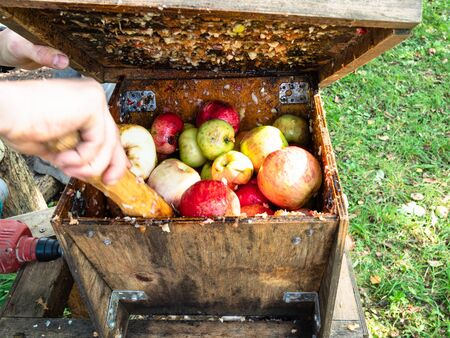 preparation of fresh apple pulp in the wooden grinding box before press for natural juice to produce cider in village