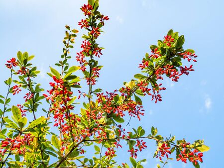 bottom view of green branches of barberry with ripe red fruits with blue sky on background on sunny autumn day