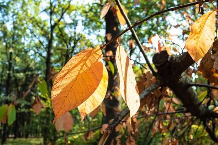 orange leaves of ash tree close-up in green city park on sunny autumn day