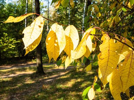 yellow leaves of ash tree illuminated by sun in city park on sunny autumn day