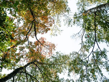 bottom view of blue sky between yellowing tops of trees in city park on autun day