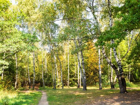 landscape with yellowing birch grove in green city park on sunny autumn day
