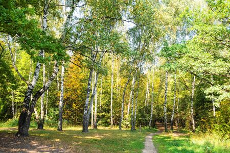 path in yellowing birch grove in green city park on sunny autumn day