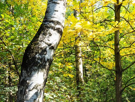 white trunk of birch tree and yellow foliage of ash tree in green city park in sunny autumn day 版權商用圖片