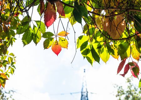 colorful autumn leaves of victoria creeper plant and high voltage power line tower on background 스톡 콘텐츠
