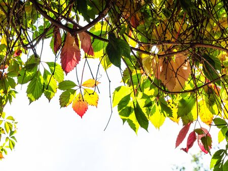 natural background - colorful autumn leaves of Parthenocissus plant and blue sky