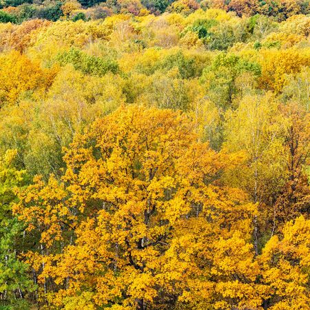 natural background - yellow oak tree in forest on autumn day Stock Photo
