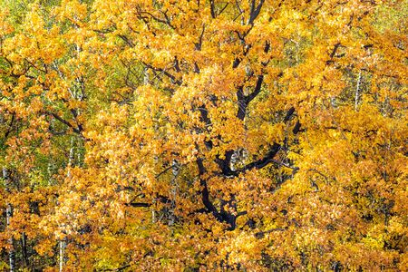 natural background - orange foliage of old oak tree in forest on sunny autumn day