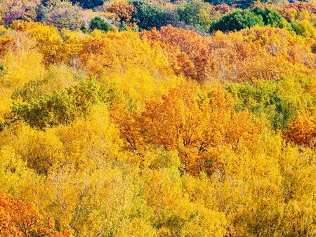 natural background - yellow and orange foliage of trees in forest on autumn day