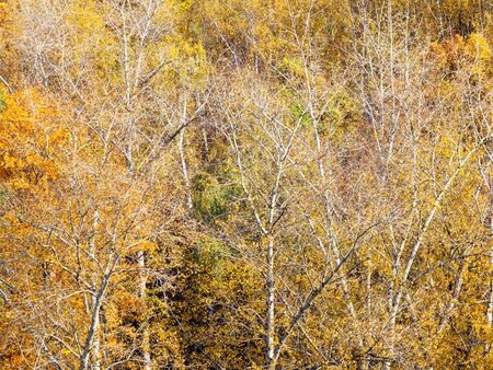 above view of aspen grove in yellow forest on sunny autumn day 스톡 콘텐츠