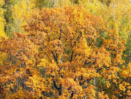 orange crown of old oak tree in forest on sunny autumn day
