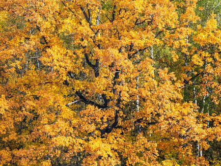 orange leaves of old oak tree in forest on autumn day