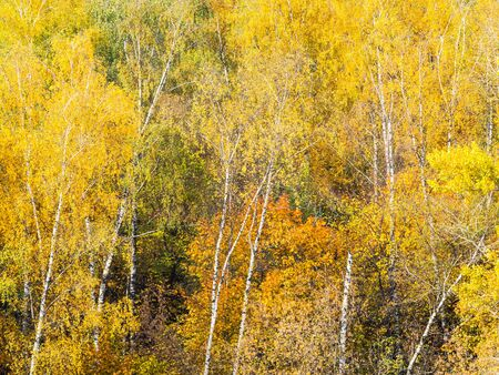natural background - white birch trunks and yellow foliage of forest on sunny autumn day