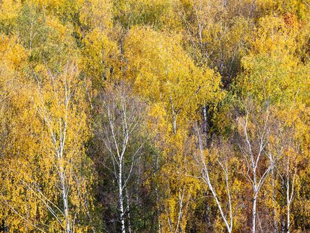 above view of birch grove in yellow forest on sunny autumn day