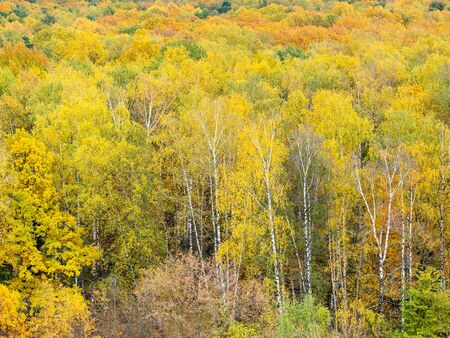 above view of yellow birch trees in autumn forest on autumn day