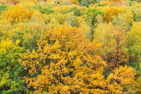 above view of large yellow oak tree in woods on autumn day