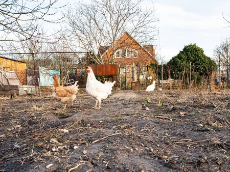 herd of hens grazes on backyard of country house in sunny winter evening