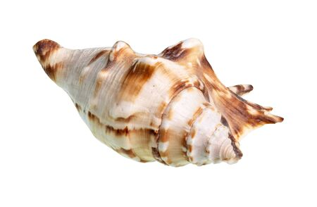 dried conch of muricidae snail cutout on white background