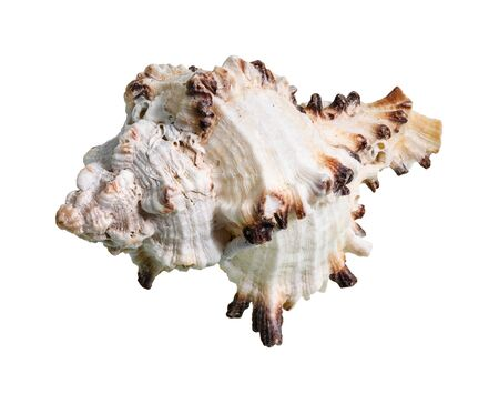 dried shell of muricidae mollusc cutout on white background