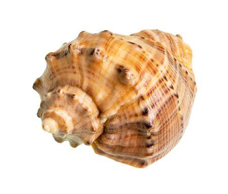 dried shell of rapana cutout on white background Фото со стока