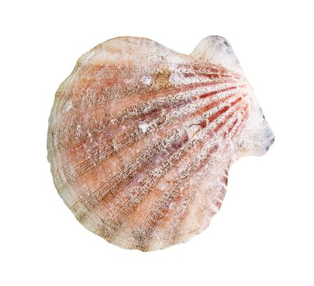 dried shell of scallop cutout on white background