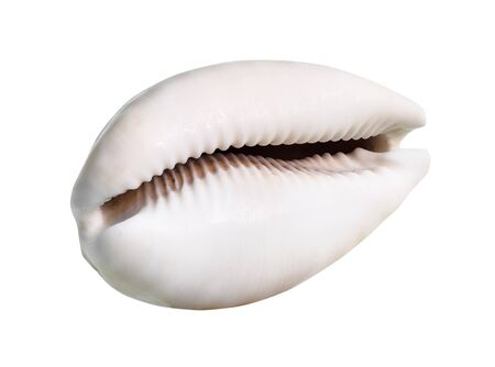 dried empty pink shell of cowry cutout on white background