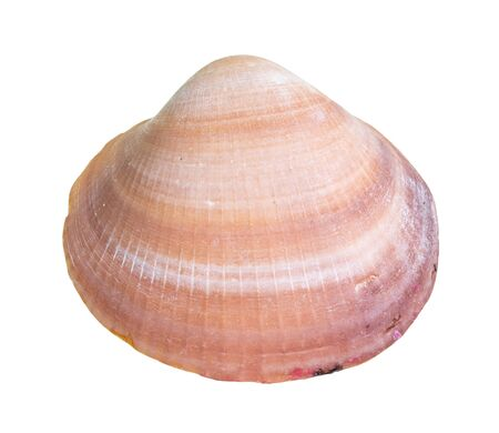 dried pink shell of clam cutout on white background