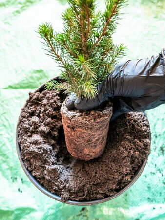 top view of replanting small pine tree in large ceramic pot