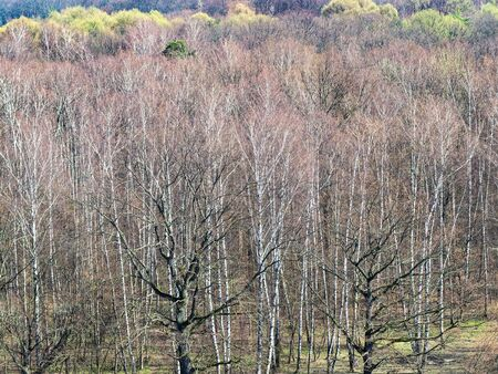 natural backgroud - above view of oak trees and birch grove in forest in early spring Stockfoto