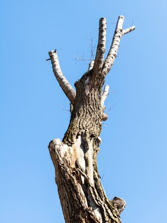 spring in city - bottom view of dried pruned poplar tree with blue sky on background in urban yard Stockfoto