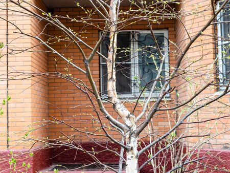 spring in city - trees with buds and window of apartment house on background (focus on bare tree trunk on foreground)